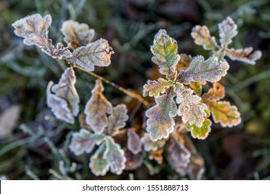 Leaves with hoarfrost in autumn, Germany