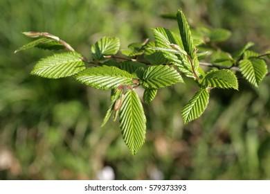 Leaves of hornbeam, Carpinus betulus