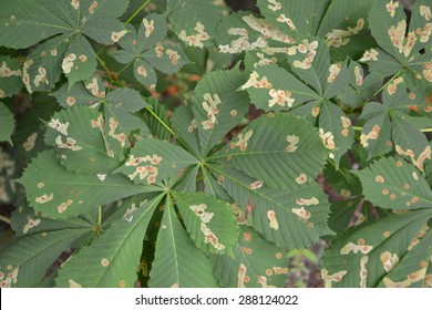 The leaves of a horse-chestnut infected with a chestnut mining moth (the okhridsky miner)