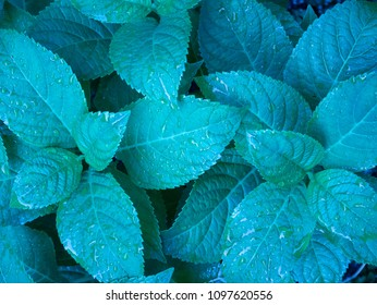 Leaves of hydrangea in blue tone background