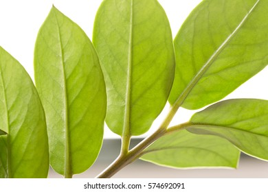 Leaves of an indoor plant, photographed in backlight. Horizontal shot with natural light.