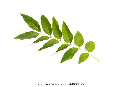 Leaves isolated on white background.Golden shower leaf.Cassia fistula leaf.