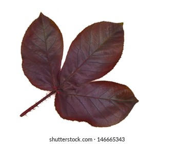 Leaves Isolated with a white background