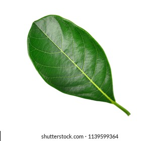 Leaves of jackfruit isolated on a white background