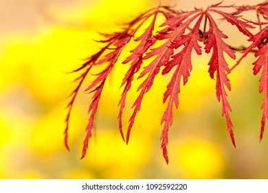 Leaves of a Japanese maple Acer palmatum with yellow blurred blossoms in the background