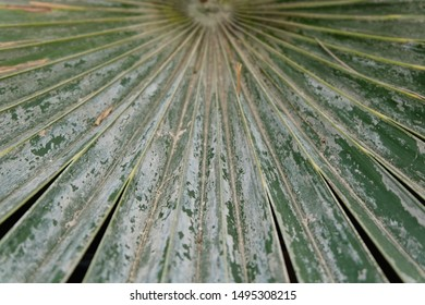 The leaves of the lady palm that resemble the folds of the fabric with the growth of plants in the wild naturally. The leaves will have rain and soil stains, causing the leaves to be unattractive