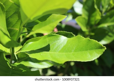 Leaves of a Lemon Tree