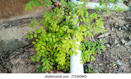 Leaves light green.
