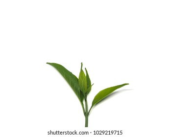 Leaves light green on a white background.