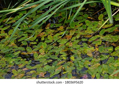 Leaves in the Lily Pond