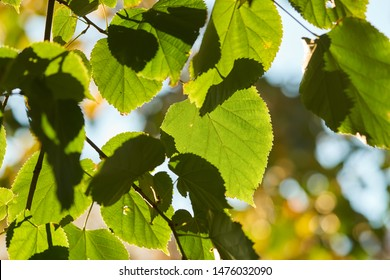 Leaves of a linden tree in summer in backlight