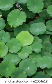 Leaves of lotus plants in Kyoto, Japan.