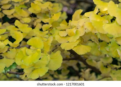 leaves of Maidenhair Tree - Ginkgo biloba - are becoming a yellow in autumn, JAPAN.