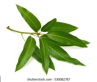 leaves of mango tree isolated on white background