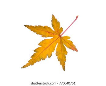 Leaves of maple colored yellow