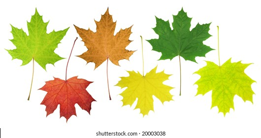 Leaves of a maple are isolated on a white background