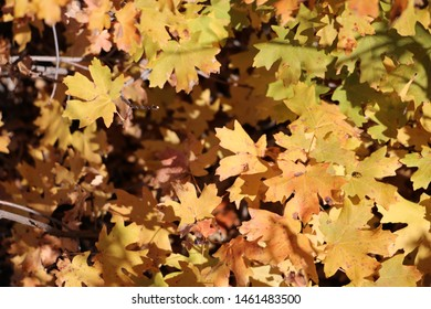 Leaves of Maple trees carpet the ground in the Wasatch mountain foothills near Draper, Utah