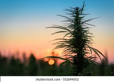 Leaves of marijuana plant on the field