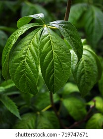 Leaves of the medicinal plant Eleutherococcus senticosus