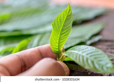 Leaves of Mitragyna speciosa (kratom), Drugs and medicinal plant  in Thailand.