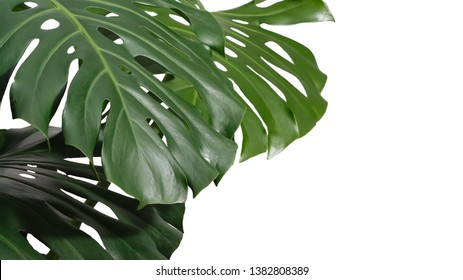 leaves of monstera or split-leaf philodendron (Monstera deliciosa). Dark green Real Tropical jungle leaves isolated on white background. Botanical nature concepts ideas.