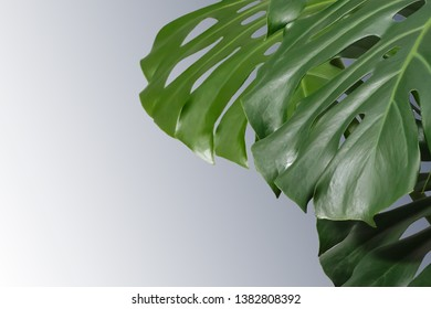leaves of monstera or split-leaf philodendron (Monstera deliciosa). Dark green Real Tropical jungle leaves. Botanical nature concepts ideas. Copy space.