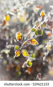 Leaves with morning frost