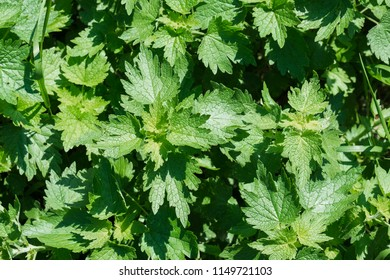Leaves of the motherwort. Green background with young leaves of motherwort (Leonurus cardiaca)