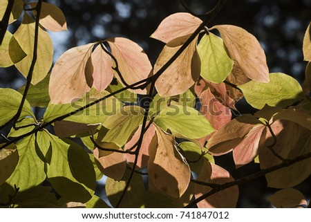 Leaves Mountain Dogwood Tree During Fall Stock Photo Edit Now