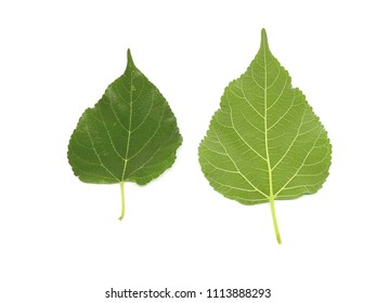 The leaves of mulberry on a white background