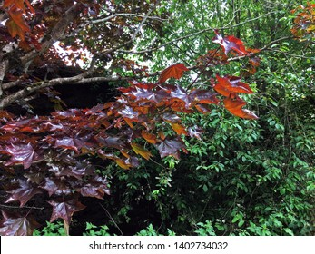 Leaves on the branch of a copper beech tree
