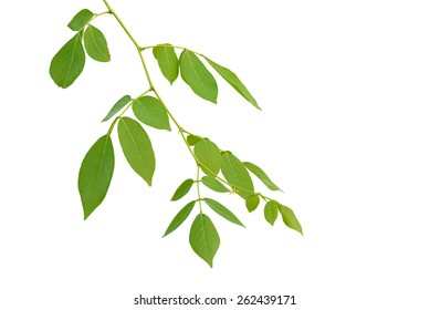 leaves on the branch on white background
