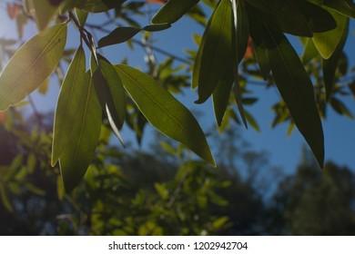 Leaves on a California Bay Laurel (in Santa Clara County)