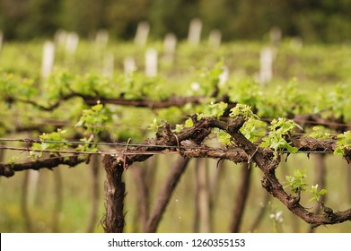 Leaves on a grapevine from a vineyard farm with blurred background. View of field of plants to grow grapes for wine making
