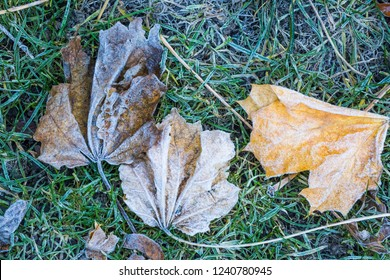 Leaves on the lawn in the first frost