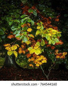 Leaves on a tree turning colour in autumn.