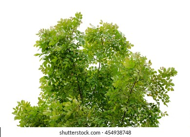 The leaves on the trees on white background.