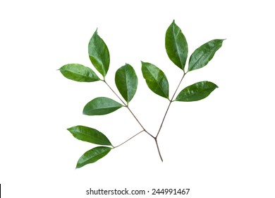 leaves on a white background