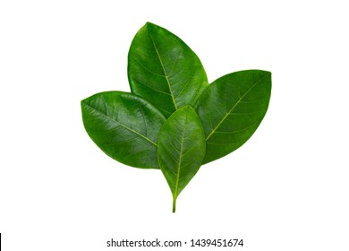 Leaves on white background, leaves for assembling green leaf images, suitable for further use