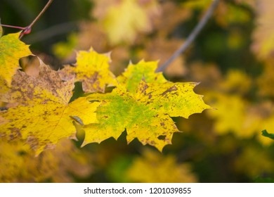 leaves on a wooden background against a background of autumn leaves