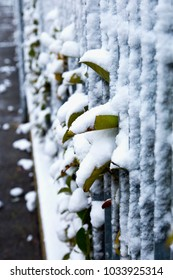 Leaves outside metal bars, with snow, vertical image