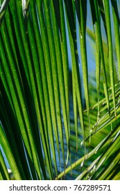 leaves of palm tree, close up. Nature background