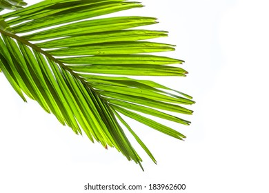 Leaves of palm tree isolated on white background.