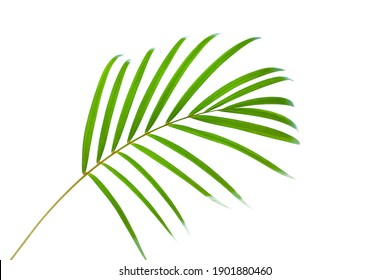 leaves of palm tree isolated on white background, summer background