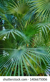 the leaves of the palm trees of the arboretum closeup