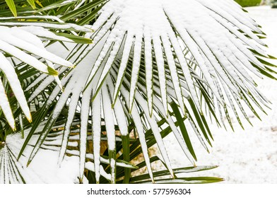 Leaves of palm trees in the snow, winter season background