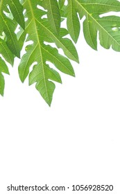 Leaves of the papaya on white background.