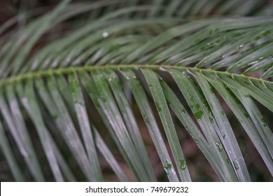leaves of phonix roebelenii dwarf date palm from laos