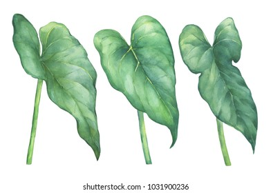 Leaves of Pigtail Anthurium tropical flower. Hand drawn watercolor painting illustration isolated on white background.