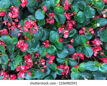 Leaves with pink flowers in the beautiful Nusantara Flower Garden, Puncak West Java Indonesia
